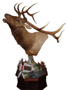 Elk Shoulder Mount