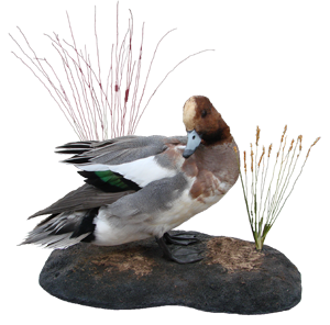 European Widgeon Mount